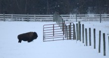 A buffalo is standing in front of a fence that has a door that is wide open. The buffalo looks as if it is trying to decide to go thru the fence or not. there is snow on the ground.